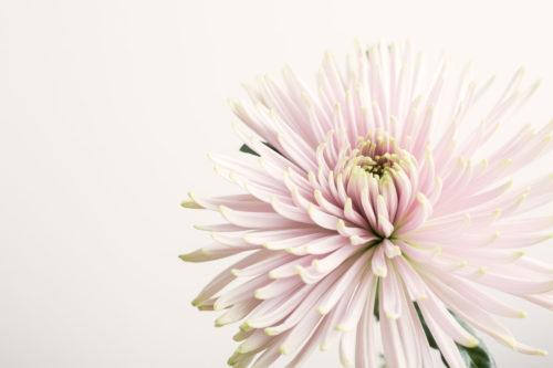 Fleur_de_Paname_18120